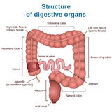 Digestive tract image intestine Stock Photos
