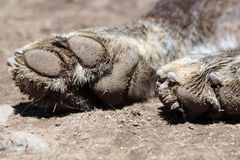 Dirty Wolf Paws Stock Image