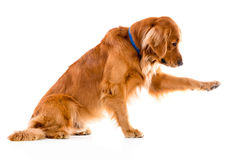 Dog giving his paw Royalty Free Stock Photography