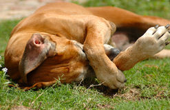 Dog itchy scratching Stock Images