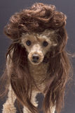 Dog with Mullet Royalty Free Stock Images