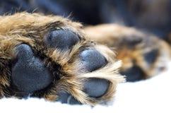 Dog paw Royalty Free Stock Image