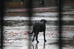 Dog in the rain Royalty Free Stock Image