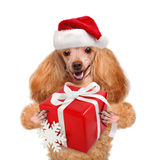 Dog in red Christmas hats with gift. Stock Images