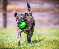 Dog run with toy Royalty Free Stock Image