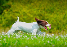 Dog running with a ball Royalty Free Stock Photos