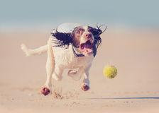 Dog running after ball Stock Photography