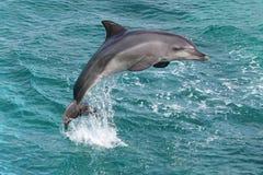 Dolphin Jump Stock Photography