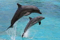 Dolphins Jumping Royalty Free Stock Images