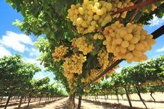 Druiven in wijnwerf Stock Foto's