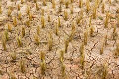 Dry rice field Royalty Free Stock Photography