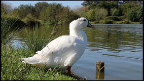 Duck cleaning feathers stock video footage