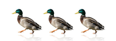 Ducks in a Row Royalty Free Stock Image