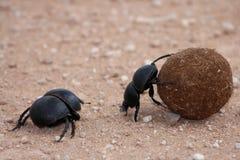Dung Beetles Stock Photos