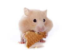 Eating hamster Stock Image