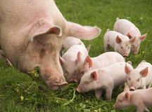 Eating Pigs Royalty Free Stock Photography