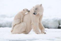 Eisbär mit Jungem Lizenzfreie Stockfotos