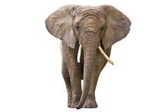 Elefante isolato su bianco Immagine Stock Libera da Diritti