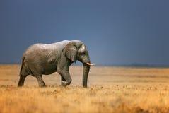 Elefante nel grassfield Fotografie Stock