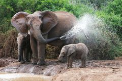Elephant Spraying Water Royalty Free Stock Images