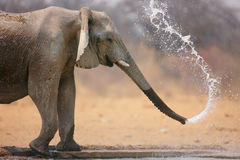 Elephant throwing water Stock Photography