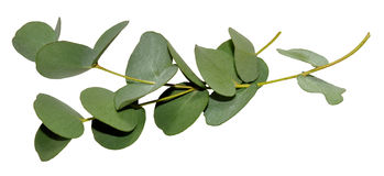 Eukalyptus-Blätter Lizenzfreie Stockfotos