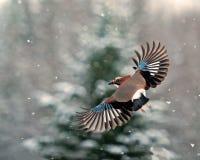 Eurasiannötskrika, Garrulusglandariusflyg i fallande snö Royaltyfria Foton