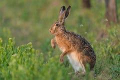 European hare Royalty Free Stock Photography
