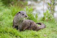 European otter Stock Images