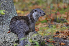 European otter Stock Image