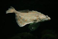 European plaice fish Stock Photography