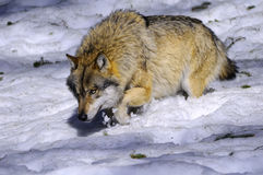 European Wolf Royalty Free Stock Images