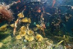 För havsanemoner för marin- liv rotar den undervattens- mangroven Arkivbild
