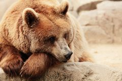 The face of a bear Stock Photography