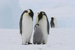 Famiglia del pinguino Fotografie Stock