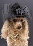 Fancy Dog Stock Image