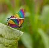 Farfalla del Rainbow Fotografia Stock