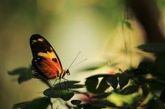 Farfalla misteriosa Fotografie Stock Libere da Diritti