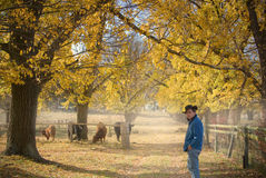 Farmer checks the cows Royalty Free Stock Photo