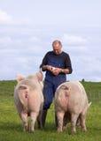 Farmer Feeding Pigs Royalty Free Stock Images