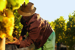 Farmer picking up the grapes in vineyard Stock Images