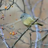 A fat migratory bird Stock Images