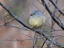 A fat migratory bird Royalty Free Stock Images