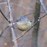 A fat migratory bird Stock Photos