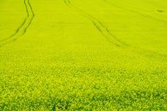 Feld der gelben Rapssamenlandwirtschaft Stockbilder