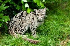 Female Clouded Leopard Sitting Under Bush Stock Photo