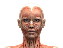Female Head Muscles Anatomy - Front view Royalty Free Stock Photo