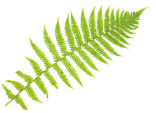 Fern isolated on white, cutout Royalty Free Stock Photos