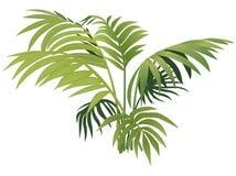 Fern plant Royalty Free Stock Image