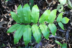 Ferns leaves green foliage tropical background. Rain forest jungle plants natural flora. Stock Photography